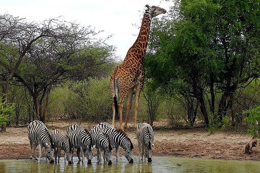 Zebras, Giraffe, Africa, Nature, Landscape, Water Hole
