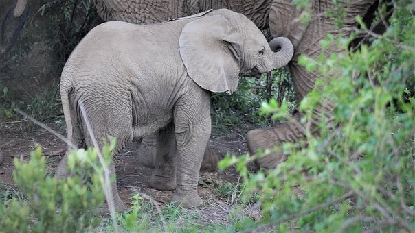 Baby, African Elephant, Maternal, Trunk