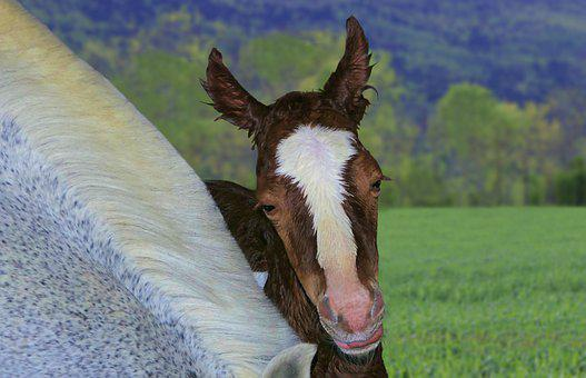 Foal, Baby, Birth, Portrait, Horse, Brown, Animal