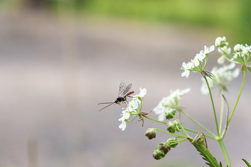 Bug, Insect, Wings, Cow Parsley, Flower