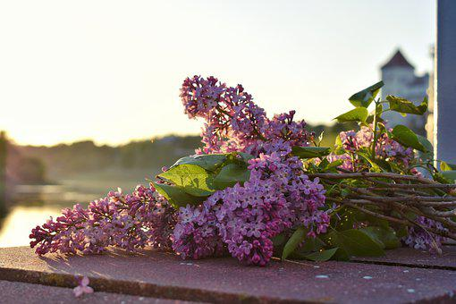 Lilac, Flowers, Spring, Purple, Nature, Flora, Layout