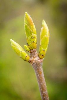Leaf Bud, Leaf, Foliation, Spring, May, Tree
