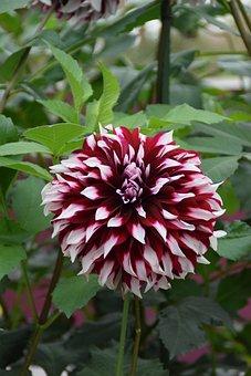 Dahlia, Blossom, Bloom, Garden Plant