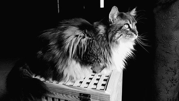 Cat, Feline, Mainecoon, Blue Tabby White, Long Hair