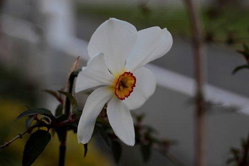 Narcissus Poeticus Actea, White, Colorful, Flower
