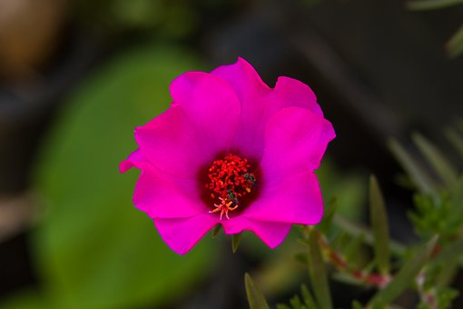 Eleven O'clock, Flower, Eleven-hours, Nature, Plant