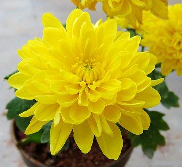 Yellow Flower, Flower, Yellow, Plant, Flora, Petals