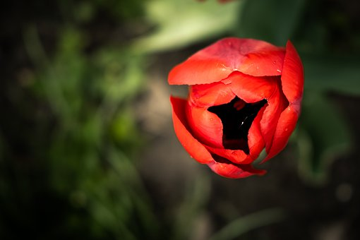 Flower, Tulip, Spring, Colorful, Red