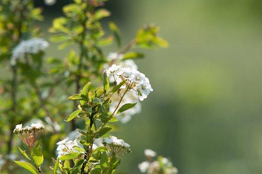 Bauer Jasmin, Spire, Spirea, Bush, Blossom, Bloom