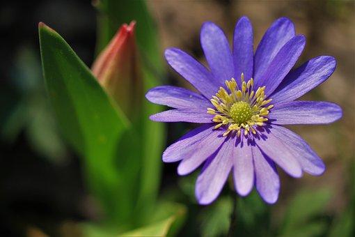 Hepatica, Common Hepatica, Three-lobed Liverwort