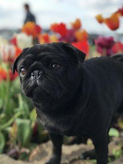 Pug, Pet, Flowers, Cute, Dog