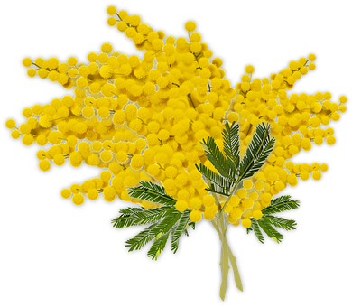 Mimosa, Women's Day, Woman, Flower, Yellow, Flowers