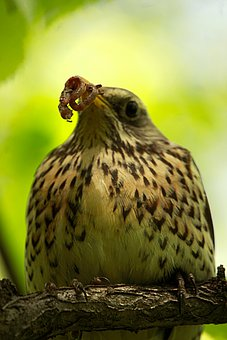 Thrush, Bird, Spring, Hunger, Plumage, Jack, Pen