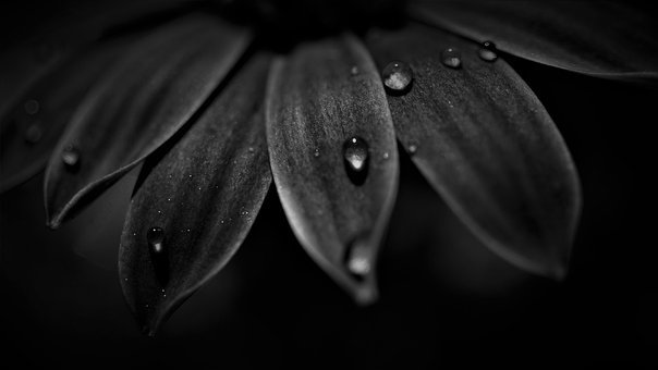 Petals, Black White, Dark, Drop Of Water, Nature