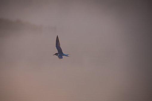 Tern In Mist, Common Tern, Tern, Sea Swallow, Sea Bird