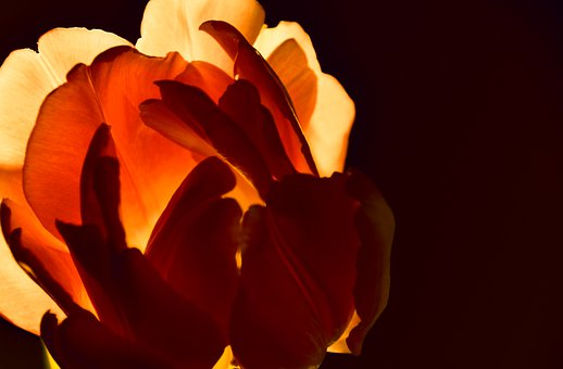 Tulip, Petals, Flower, Seeing Things, Background Light