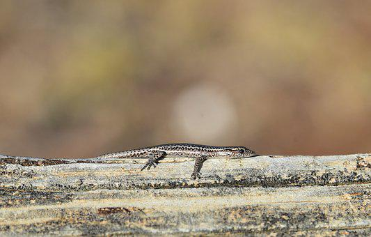 Skink, Lizard, Tiny, Reptile, Wild