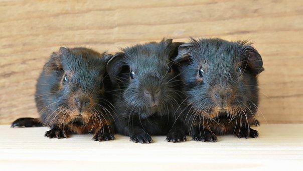 Guinea Pig, Baby Guinea Pigs, Young Animals, Newborn