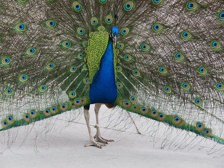 Peacock, Peafowl, Bird, Blue, Feather, Plumage