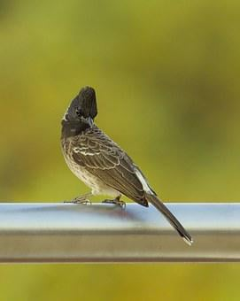 Bulbul, Red, Vented, Bird, Perched, Nature, Red-vented