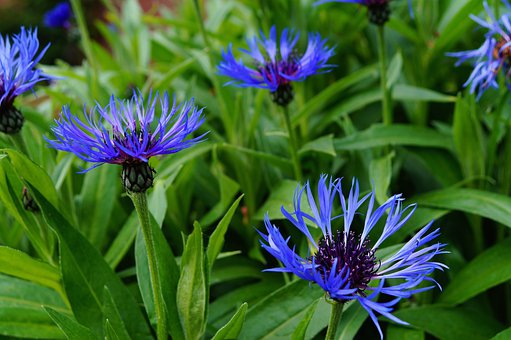 Cornflower, Centaurea Cyanus, Blossomed, Blue, Calming