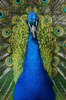 Peacock, Blue, Bird, Iridescent, Gorgeous, Blue Peacock