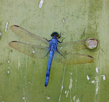 Dragonfly, Blue, Insect, Wings, Bug, Dragonflies