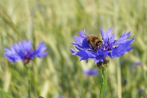 Cornflower, Bluebottle, Bumblebee, Macro, Meadow, Field