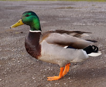 Duck, Drake, Bird, Plumage, Trustful, Colorful