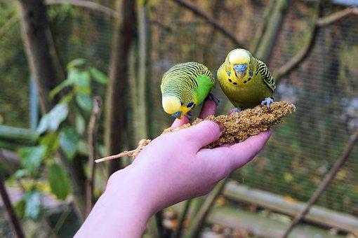 Budgie, Budgerigar On The Hand, Feeding, Trustful