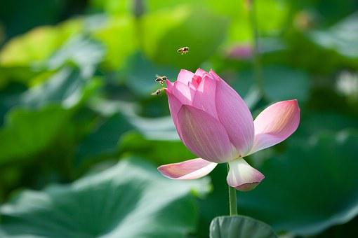 Flowers, Lotus, Bee, Nail, Nature, Aquatic Plants