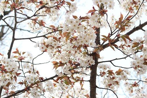 Cherry Blossoms, Yoshino Cherry Tree, Japan, Karen