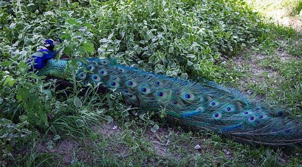 Peacock, Peafowl, Peacock Tail, Tail Feathers
