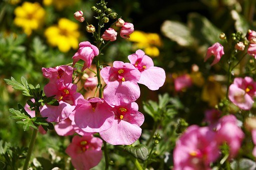 Elf Mirror, Flowering Plant, Terrace Plant, Pink