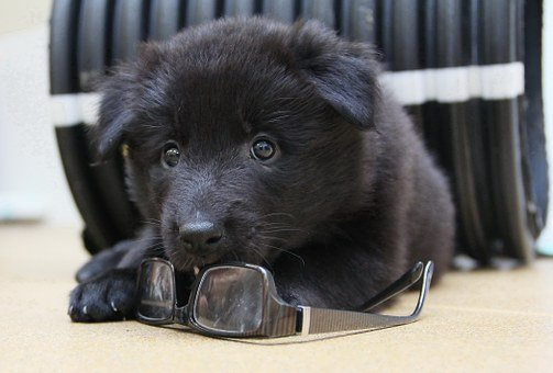 Puppy, Belgian Shepherd Dog, Groenendael, Small, Soft