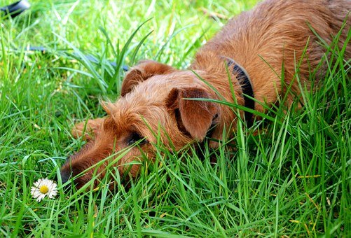 Dog, Animal, Daisy, Meadow, Summer, Relaxation, Rest