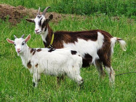 Goat, Will, Tauern Pinto, Mother, Kid, Lamb