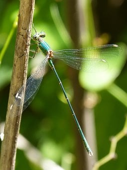 Green Dragonfly, Winged Insect, Pond, Wetland