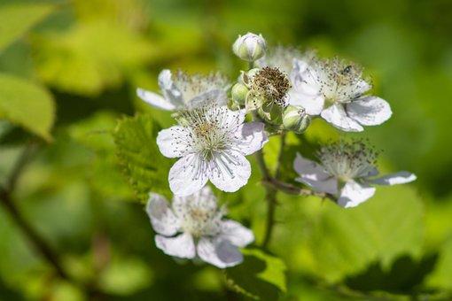 Blackberry, Blossom, Bloom, Spring, Flower, White