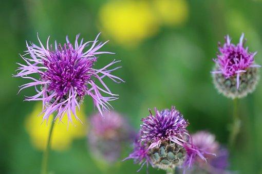 Flower Meadow, Flower, Blue, Meadow, Spring, Nature