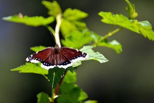 Butterfly, Mourning Cloak, Insect, Brown, Butterflies