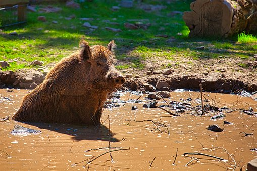 Boar, Pig, Animal, Nature, Pigs, Wild, Sow, Cute, Zoo