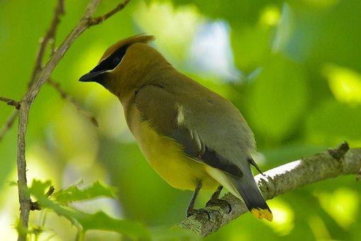 Nature, Wildlife, Bird, Cedar Waxwing, Closeup, Profile