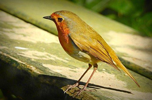 Robin, Song Bird, Songbird, Feather, Plumage, Beak