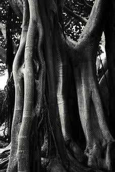 Ficus, Black And White, Black, Tree, Trunk, Dark