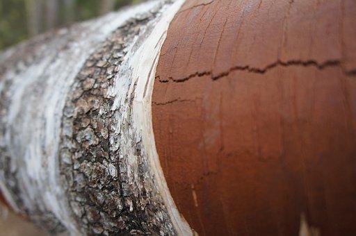 Tree, Bark, Nature, Trunk, Wood, Birch, Spring, Texture
