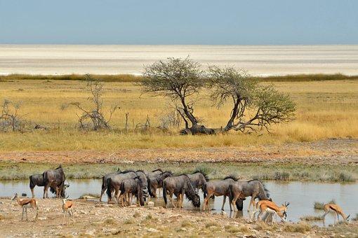 Namibia, Desert, Ethosa, Africa, Gnu, Antelope