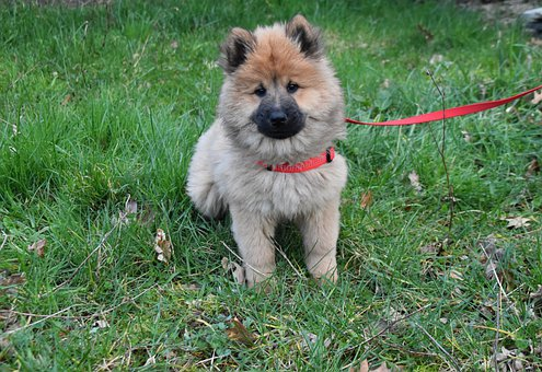 Dog, Pup, Puppy, Dog Eurasier, Red Collar And Leash