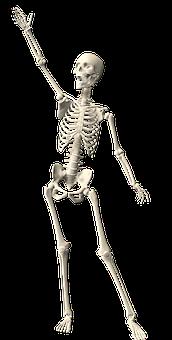 Skeleton, Human, Anatomy, Body, Science, Skull, Bone