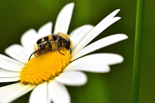 Beetle, Banded Brush Beetle, Blossom, Bloom, Flower